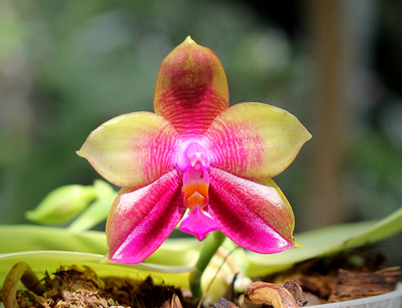 Phalaenopsis LD Emerald Bear x LD Double Dragon