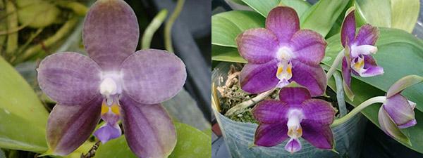 Phalaenopsis LD Purple 3S x Mituo Reflex Dragon 'BIue-1'