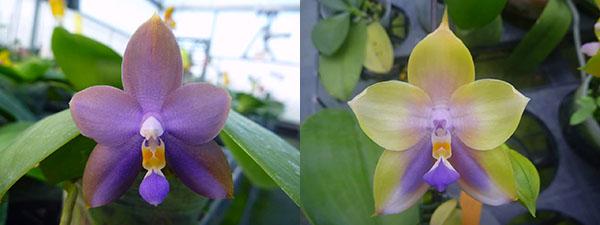 Phalaenopsis LD Purple Bear x Mituo Prince