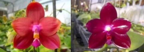Phalaenopsis Ld's Bear King 'RK-3' x Fushang's Beauty Star