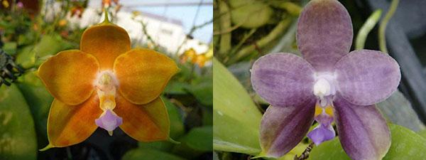 Phalaenopsis LD's Bear King x LD Purple 3S