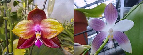 Phalaenopsis LD's Bear King 'YK-10' x spesiosa 'Blue'