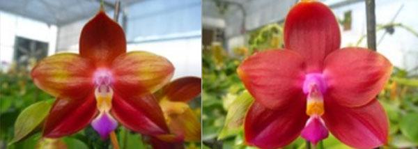 Phalaenopsis Ld's Bear King 'YK10' x Ld's Bear King 'RK3'