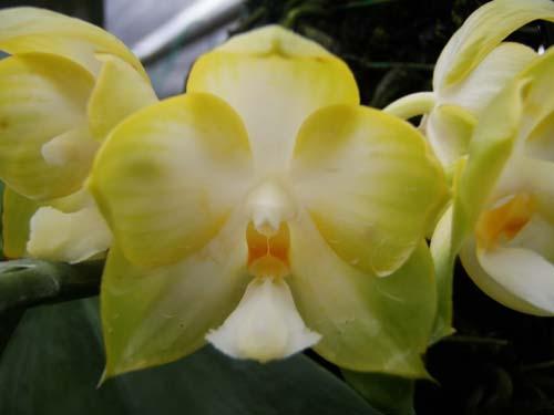 Phalaenopsis Ld's Bear Queen x (Dtps. Ho's Leamon Squash x Sogo Nihou)