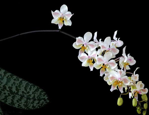 Phalaenopsis Little Dragon (stuartiana x celebensis)