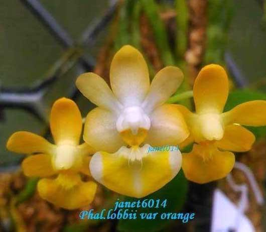 Phalaenopsis lobbii var orange