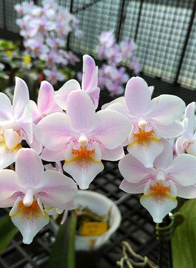 Phalaenopsis Lyndon Bright Sun