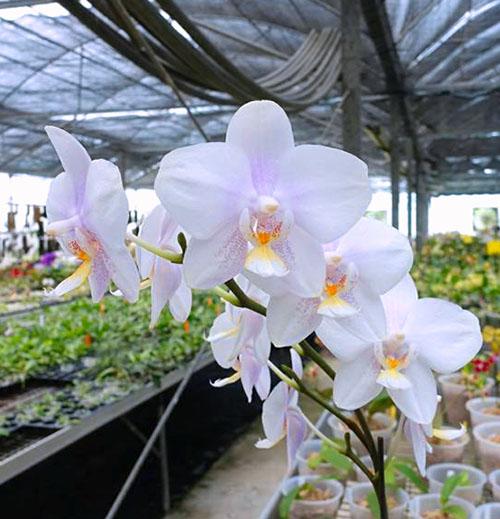 Phalaenopsis Lyndon Crystal Schilleriana (Chingruey's Crystal x schilleriana)