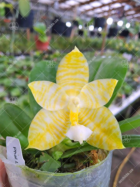 Phalaenopsis Lyndon Gold Ring (clone)