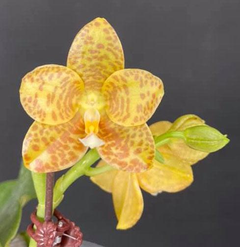 Phalaenopsis Lyndon Waltz x gigantea alba 'Tai Wei'