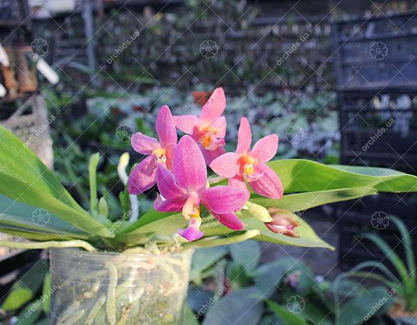 Phalaenopsis Malacea var coerulea