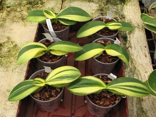 Phalaenopsis Matou Freed