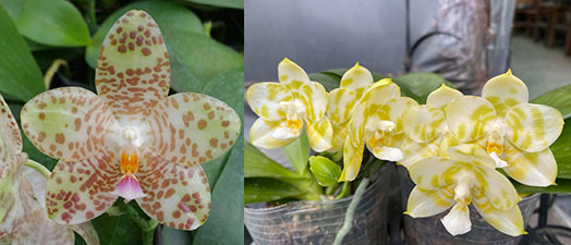 Phalaenopsis Mel's Lovely Giant x Mituo Golden Tiger 'Green Tiger'