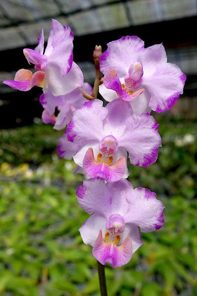 Phalaenopsis Memoria Val Rettig 'Pink'