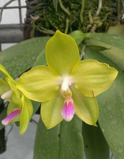 Phalaenopsis micholitzii 'green' x Yaphon Evergreen 'Yaphon'
