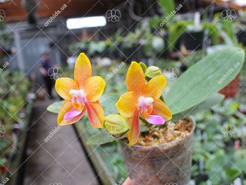 Phalaenopsis Miro Sun Beauty 'Goose Yellow'