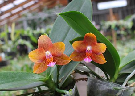 Phalaenopsis Mituo Champion King 'Brick Red'