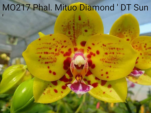 Phalaenopsis Mituo Diamond 'DT Sun'