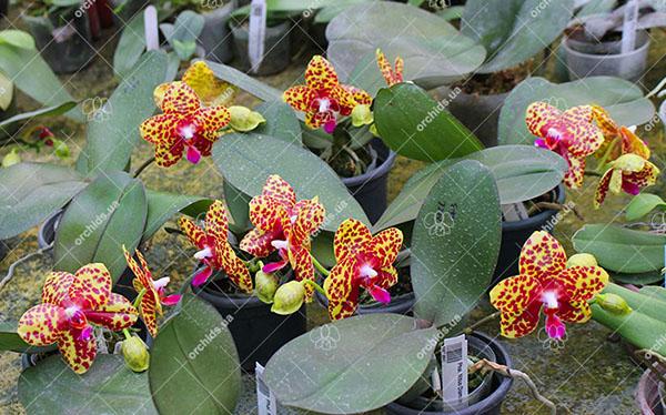 Phalaenopsis Mituo Diamond 'Big Spots'