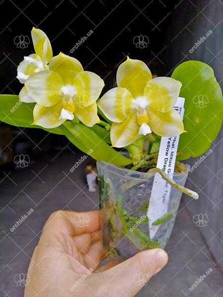 Phalaenopsis Mituo Golden Tiger 'Yellow Dragon'