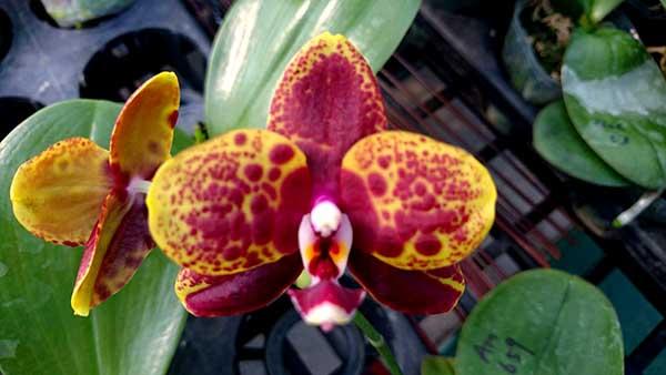 Phalaenopsis (Mituo Golden x Sogo Nihou) x Mituo Prince