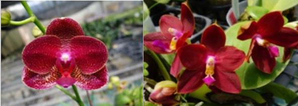 Phalaenopsis Mituo King 'RK1' (Mituo Sun x LD's Bear King 'RK-1')