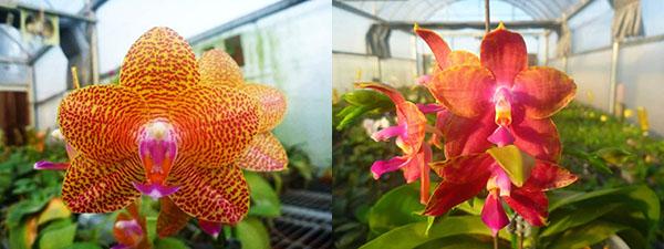 Phalaenopsis Mituo King x Black Eagle