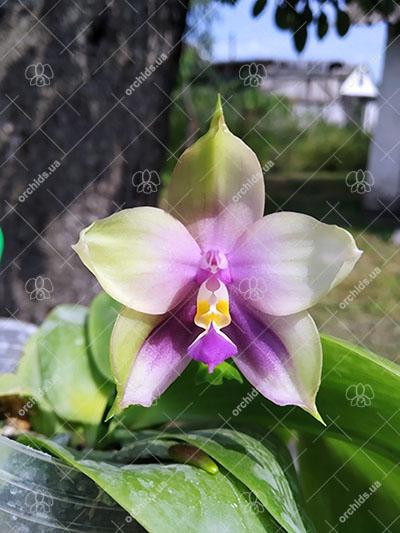 Phalaenopsis Mituo Prince 'Bb'