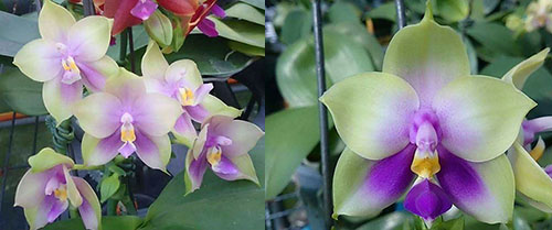 Phalaenopsis Mituo Prince 'Bb' x bellina 'Mituo #1'