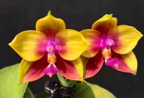 Phalaenopsis Mituo Prince 'YR'