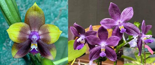 Phalaenopsis Mituo Princess 'Black Beauty' x (speciosa x Mituo Prince) 'Taro purple'