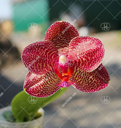 Phalaenopsis Mituo Sun