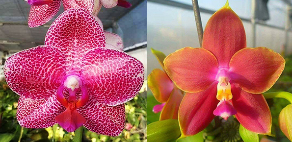 Phalaenopsis Mituo Sun 'Mituo#2' x Mituo King Bellina