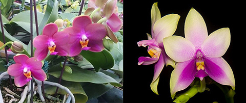 Phalaenopsis Mituo Sun Queen x Samera