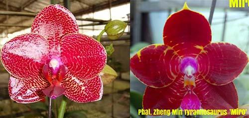 Phalaenopsis Mituo Sun x Zheng Min Tyrannosaurus