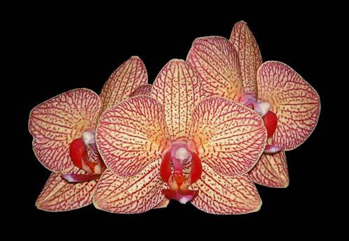 Phalaenopsis New Brother Girl