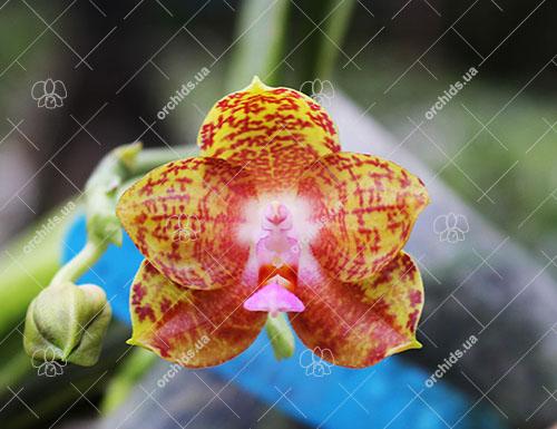 Phalaenopsis Phalaenopsis Jong's Gigan Cherry x LD's Bear Queen