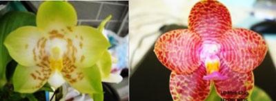 Phalaenopsis (PK x Chang Maw Jade) x LD Mok Chio