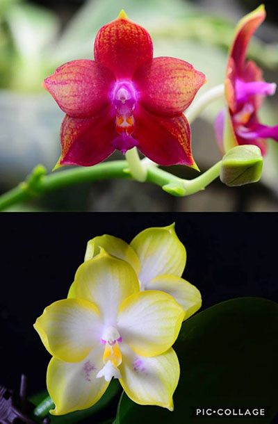 Phalaenopsis (Princess Kaiulani x Cornings Violet) x Zen Min Muskadine 'Yellow Edge'