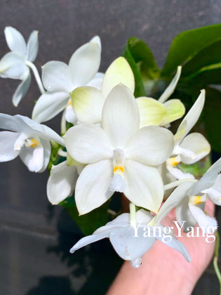 Phalaenopsis Rainbow Falconer 'Prince'