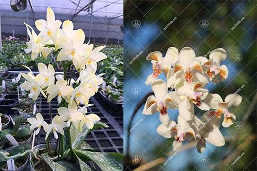 Phalaenopsis Rainbow Falconer x celebensis