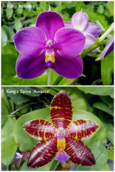 Phalaenopsis Ruby Vasquez x Kung's Spice 'Auspice'