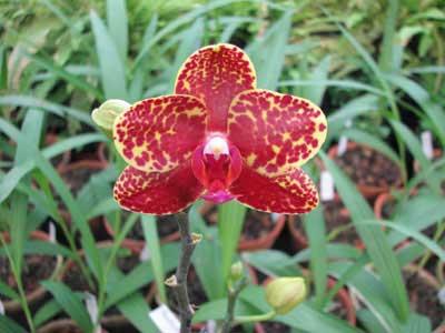 Phalaenopsis Salu Peoker 'O-1'