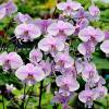 Phalaenopsis schilleriana Mainshow