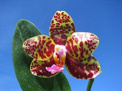 Phalaenopsis Sogo Pony 'Ya' (Ching Her Buddha x Sogo Kaiulani)