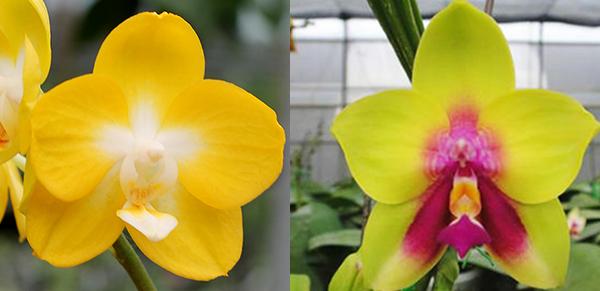 Phalaenopsis Sogo Shito x Ld's Bear Queen