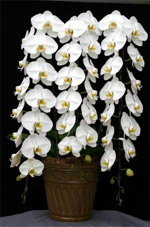 Phalaenopsis Sogo Yukidian 'V3'