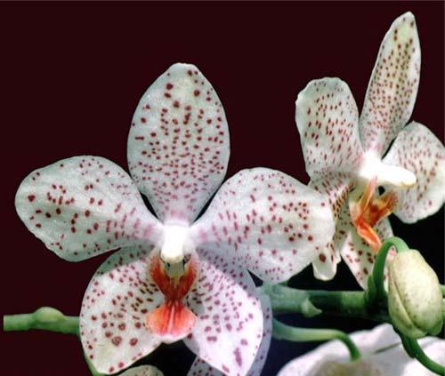 Phalaenopsis Gretchen (stuartiana puntatissima x gigantea)