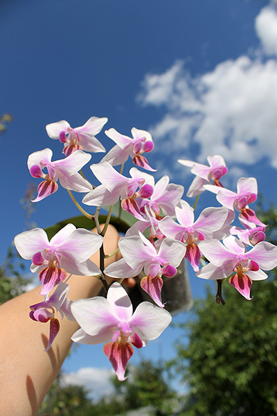 Phalaenopsis stuartiana x equestris