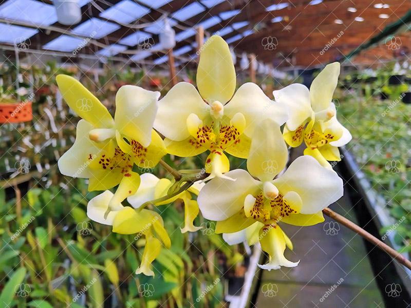 Phalaenopsis stuartiana yellow
